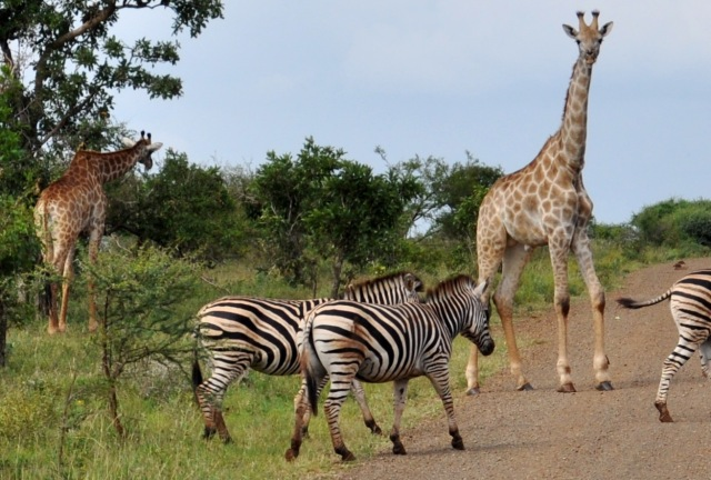 zebras and giraffes - photo #23
